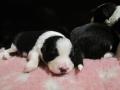 Pups Starling 054a